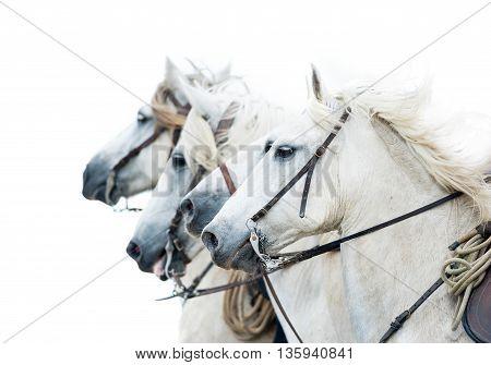 camargue white horses isolated on white portrait