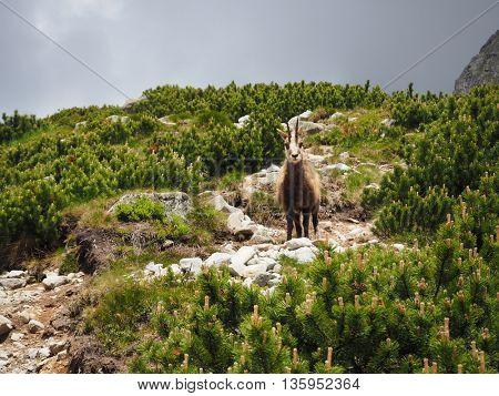 Tatra chamois lives in the Tatras