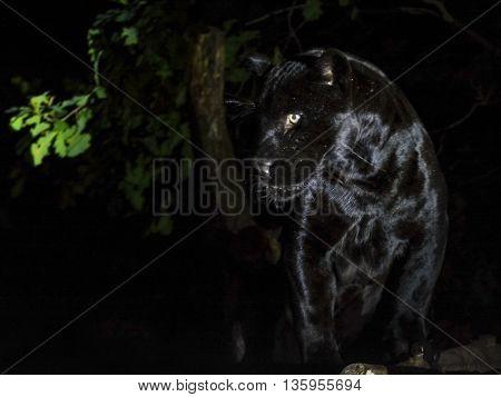 Black Jaguar In The Dark