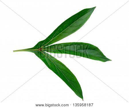 Botanical peony leaf isolated on white background poster