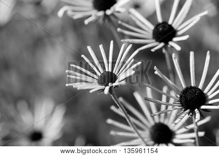 Peculiar spiky flowers in a meadow on a sunny day in monochrome