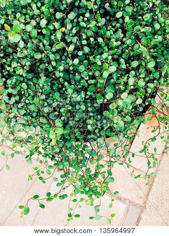 Ornamental plant Muehlenbeckia axillaris creeping wire vine.