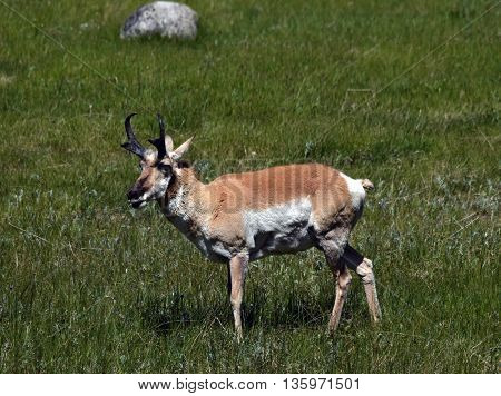 an antelope stands feeding in a grassy meadow