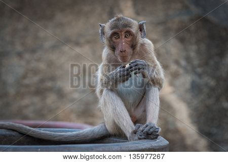 Close up of wild monkey eating a fruit snack against blurred background