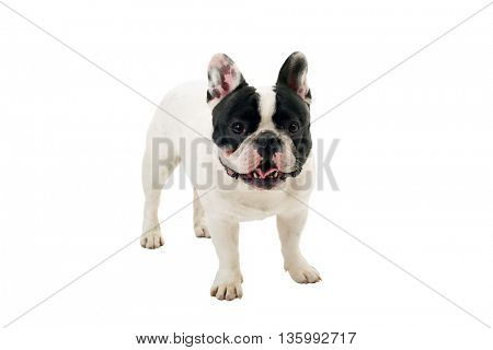 French Bulldog puppy posing isolated over a white background