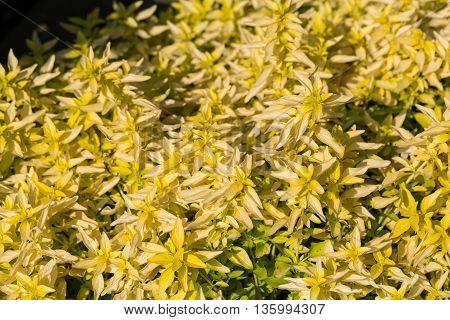 Close up of Garden with the Oregano ( Origanum vulgare )