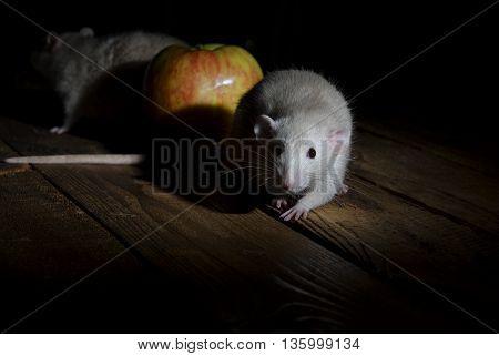 Night - Time Of Rat!