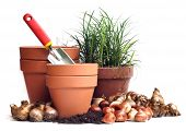 tera cota pots with tulip and daffodil bulbs poster