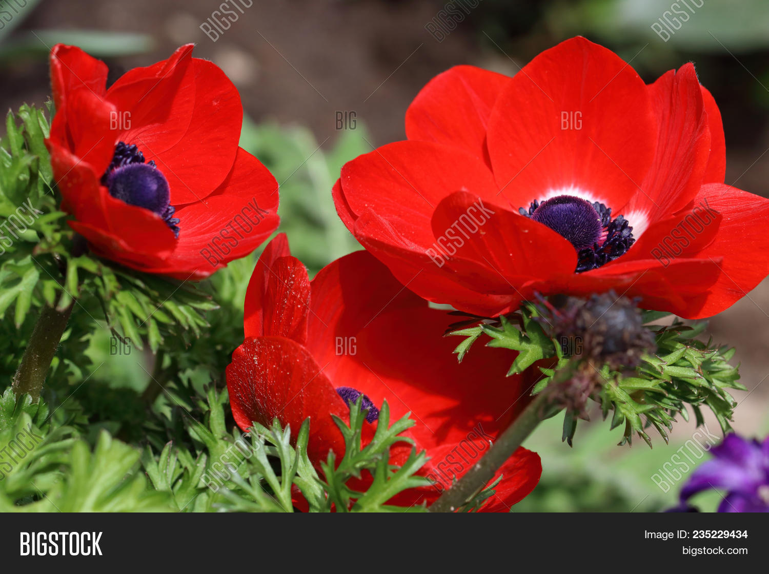The Red Anemone Flower With The Black Heart . Anemones- Anemone Are Perennial Herbs From