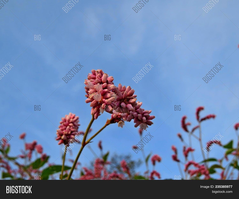 Grass Pink Flower Image & Photo (Free Trial)   Bigstock