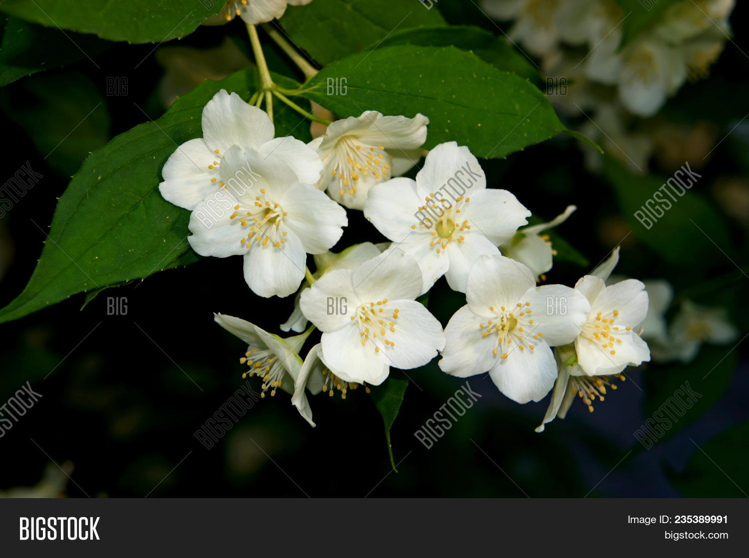 Jasmine Flower Branch Image Photo Free Trial Bigstock