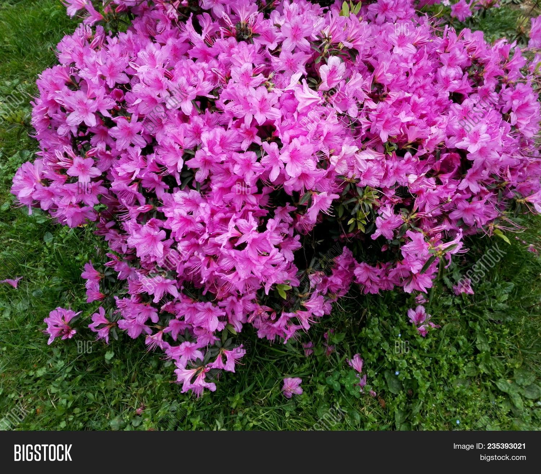 Big Pink Azalea Image Photo Free Trial Bigstock
