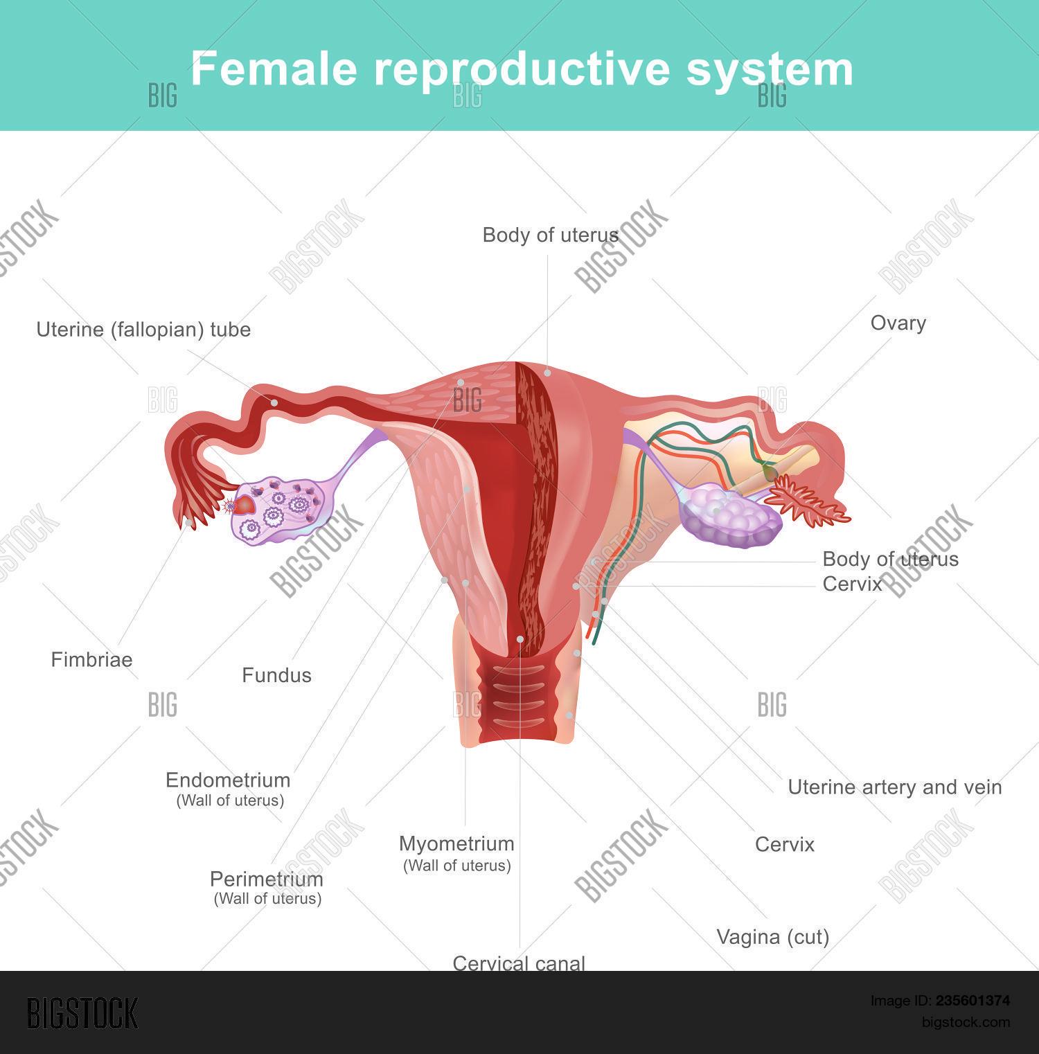 Female Reproductive Vector & Photo (Free Trial) | Bigstock