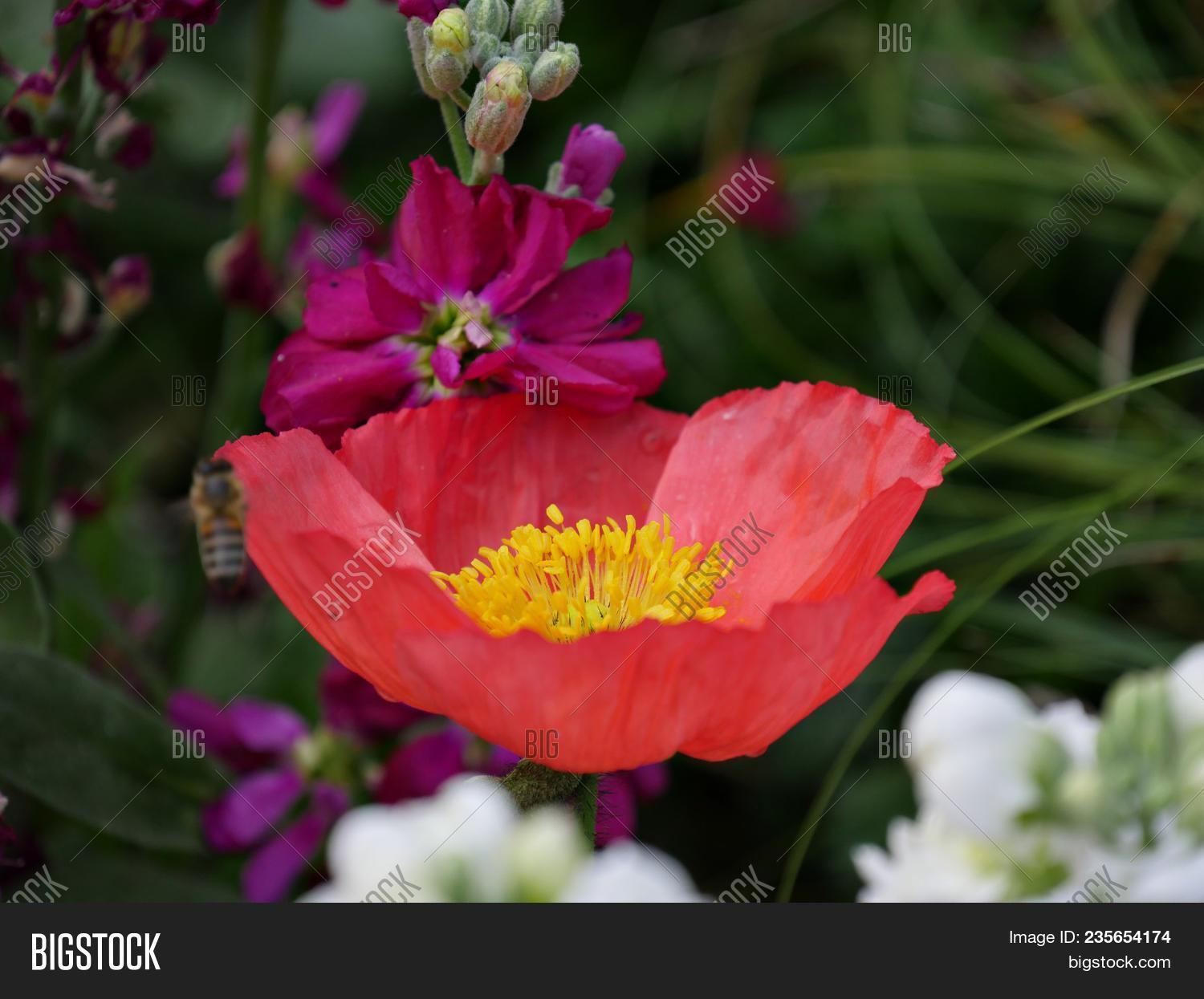 Close red flower image photo free trial bigstock close up of red flower with a yellow center and fuschia pink flowers around mightylinksfo