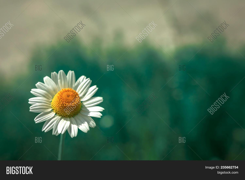 Wild daisy flower image photo free trial bigstock wild daisy flower in the morning summer izmirmasajfo