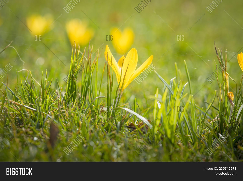 Yellow Crocus Flower Image Photo Free Trial Bigstock