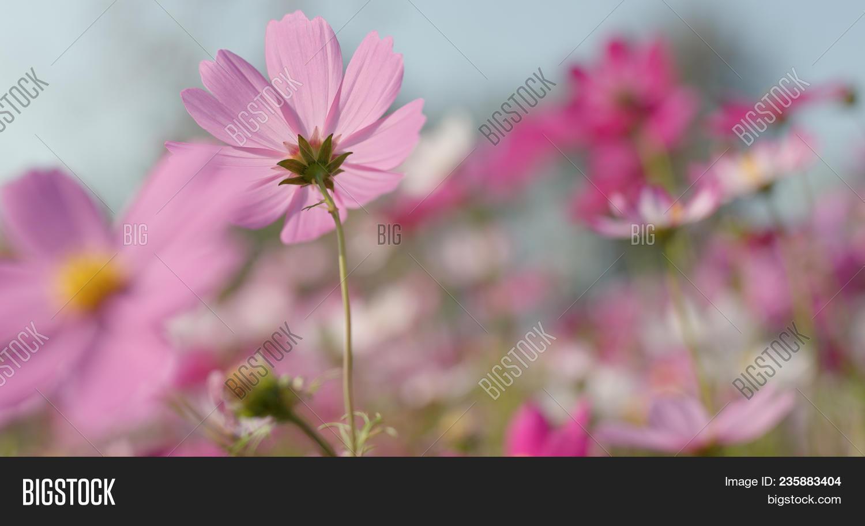 Pink White Cosmo Image Photo Free Trial Bigstock