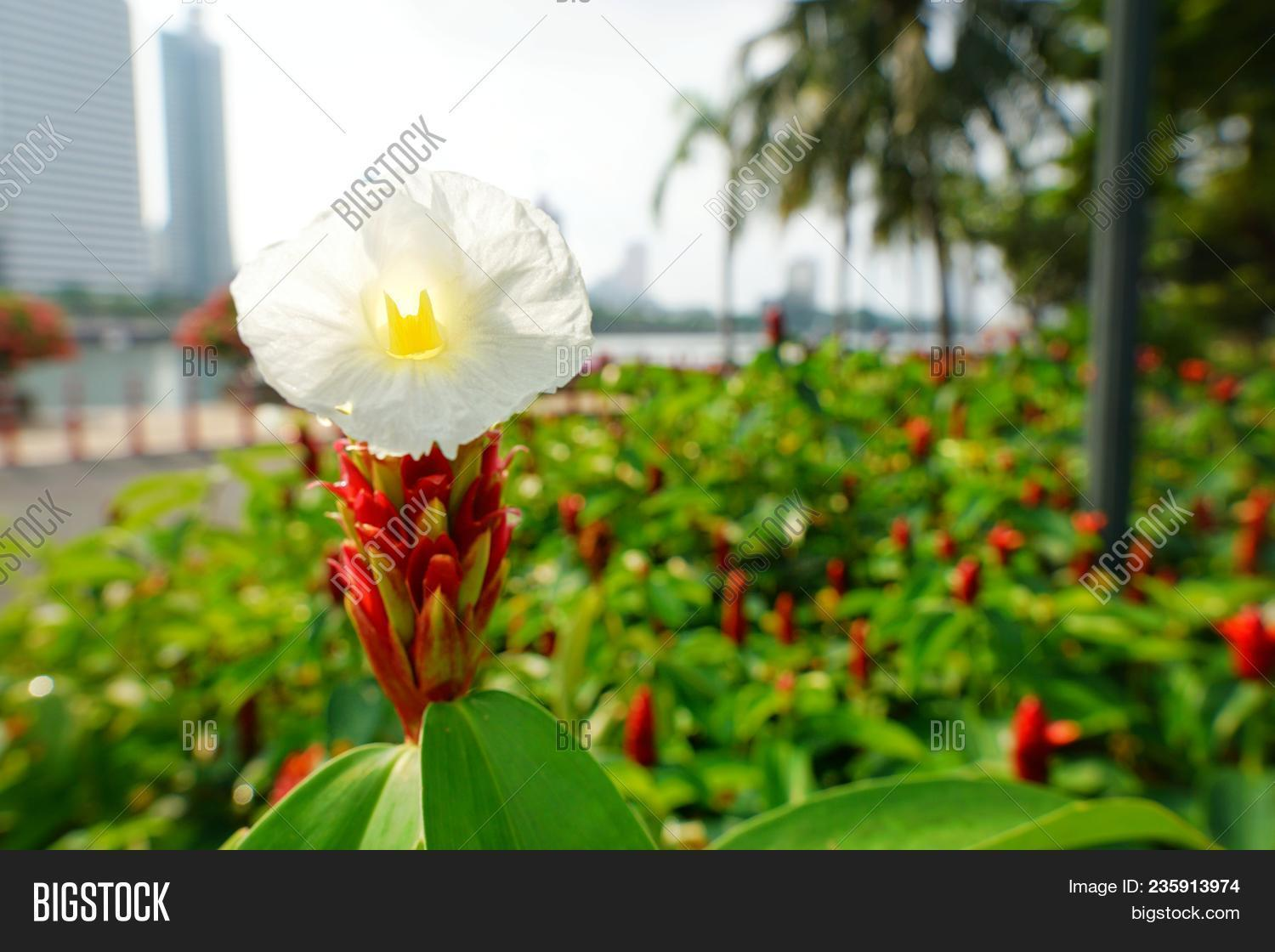 Peace Lily Flower Image Photo Free Trial Bigstock