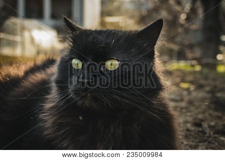 Close Up Of Thick Long Hair Black Chantilly Tiffany Cat Lying At The Garden. Fat Tomcat With Stunnin