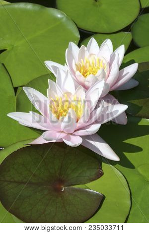 Pond With Water Lilies (lotus, Seerosen) In The Spring Sun.  Backlit Photograph