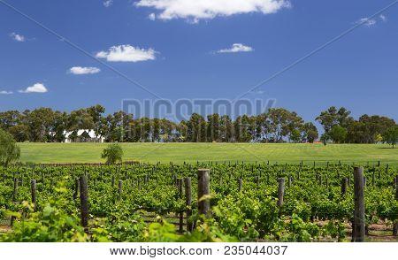 Swan River Vineyard, Near Perth, Western Australia
