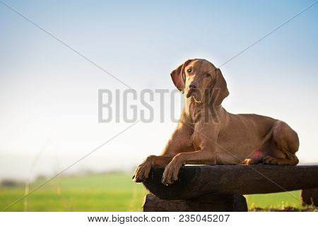 Lay Down Hound Dog On Wooden Chair In Spring