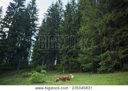 Brown Lonely Cow Lying Down At Pasture In Old Wood With Green Huge Trees. Horizontal Color Photograp