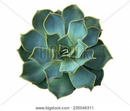 Aloe Cactus Succulent Plant Isolated On White. Macro Of Succulent In Pot. Close Up Of Small Cactus S