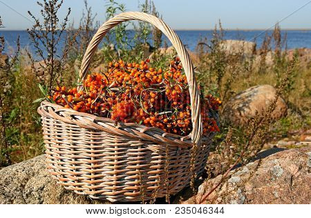 Sea Buckthorn Berries On Branches In Wicker Basket. Hippophae Or Sea Buckthorn Berries On Blue Water