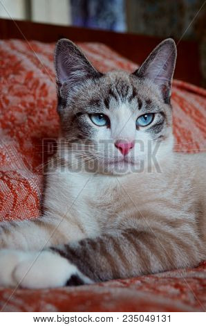 Gorgeous Cat In Lying In Regal Pose. Portrait Of Regal White And Tan Senior Cat, Laying On Bed With