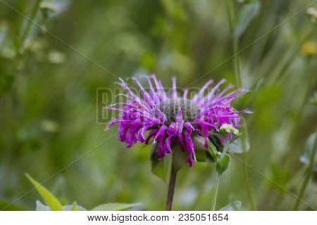 Monarda Didyma Or Scarlet Bee Balm. Colorful Monarda (crimson Bee Balm, Beebalm, Scarlet Monarda, Os