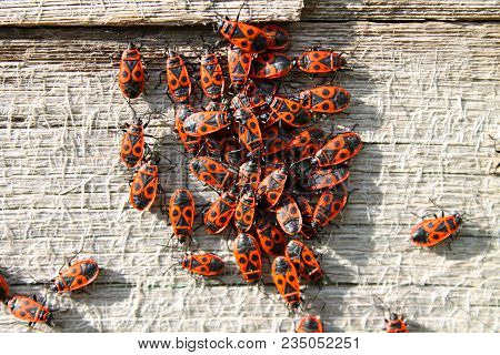 Red Soldier Bug With Black Dots On Wooden Background. Bunch Of Red Beetles Or Soldier Bugs Bask In S