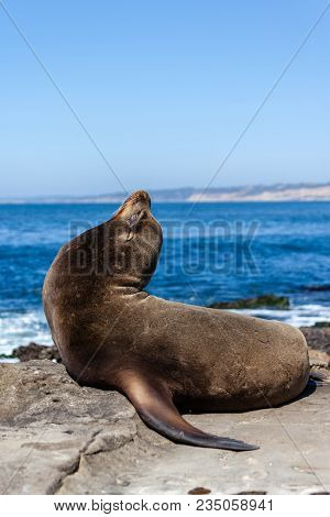 California Sea Lion Resting On The Beach In La Jolla, San Diego, California (zalophus Californianus)