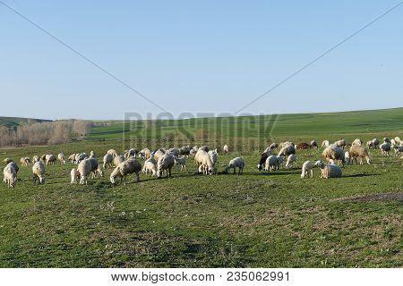 Put Out To Pasture In The Spring And Lambs Are Grazing In Bulk, Sheep Are Grazing In The Field,