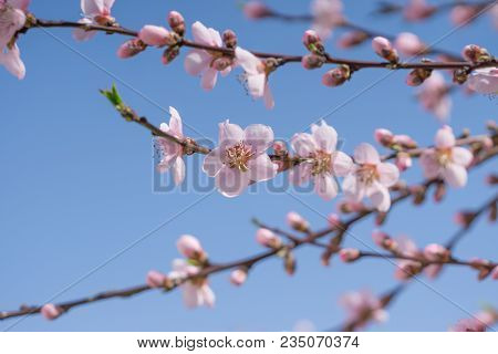 Blooming Beautiful Pink Peach Flowers On Branches With Blue Sky In Background. April Spring Peach Tr