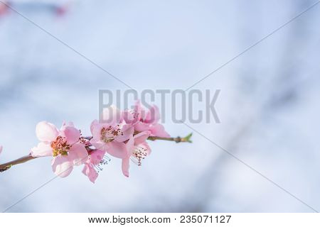 Blooming Beautiful White  Flowers On Branches With Blue Sky In Background. April Spring Tree Blossom