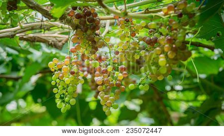 Beautiful Bunch Of Young Grapes (blackopor) On A Vine In Agricultural Garden.