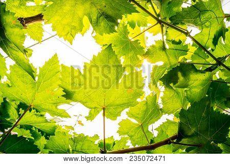 Macro Close Up Green Grape Leaf Background