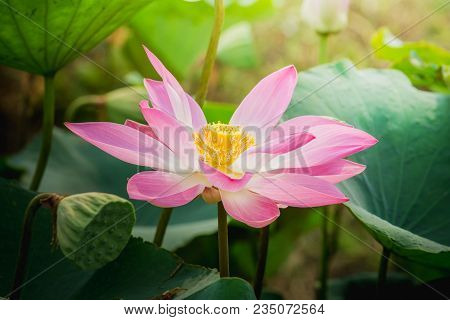 Close Up Pink Lotus Flower Blossoms In The Pond