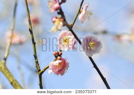 Branch Or Peach Tree Or Peach Flower On The Tree