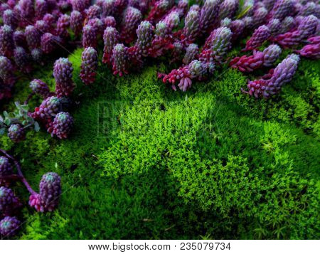 Pink-blue Succulents On Green Moss In Forest As Background. Colorful Pink Purple Succulents And Brig
