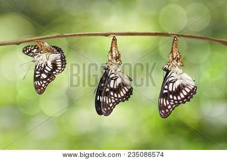 Transformation Of Emerged Black-veined Sergeant Butterfly ( Athyma Ranga ) From Chrysalis Hanging On