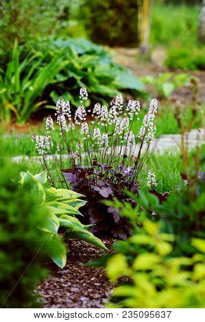 Red Heuchera Planted In Combination With Hostas And Astilbes In Summer Garden
