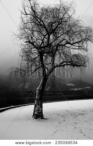 Big Lonely Tree With Snow By The Lake In Winter With Black And White Effect