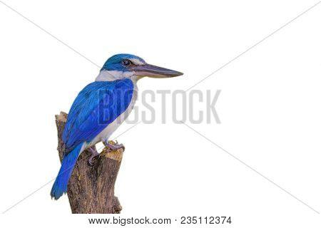 Collared Kingfisher (todiramphus Chloris) Bird. Blue Bird. Isolated On White Background
