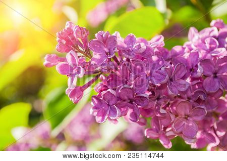 Spring Background With Lilac Flowers. Blooming Spring Lilac Flowers, Selective Focus At The Central