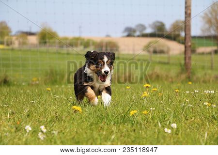 Tricolored Border Collie Is Running In The Garden