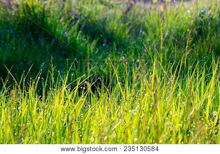 Grass In Morning Dew Drops. Lovely Nature Background