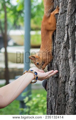 Wild Squirrel In The Park