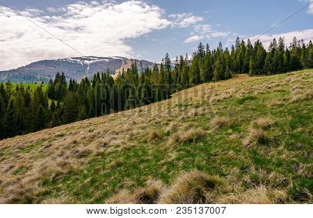Row Of Spruce Trees On A Grassy Hillside. Lovely Springtime Landscape On A Cloudy Day. Mountain With